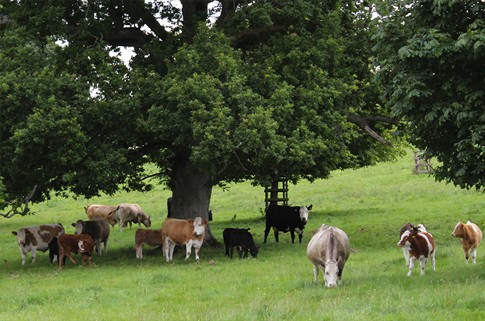 Organic Cattle in a field