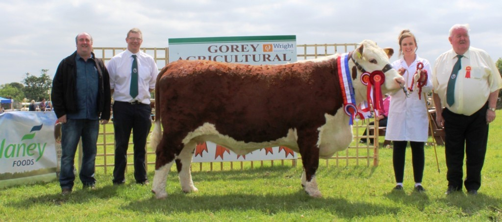 Overall Champion Hereford